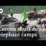 Coronavirus: Thai elephants face starvation as tourism drops | DW News