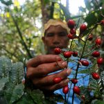 Brazilian indigenous leaders fight coronavirus with medicinal plants
