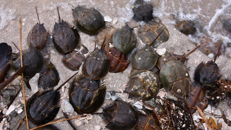 Horseshoe crabs have a vital role in the development of a coronavirus vaccine. Here's why