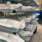 WHO looks at mink farm biosecurity globally after Danish coronavirus cases